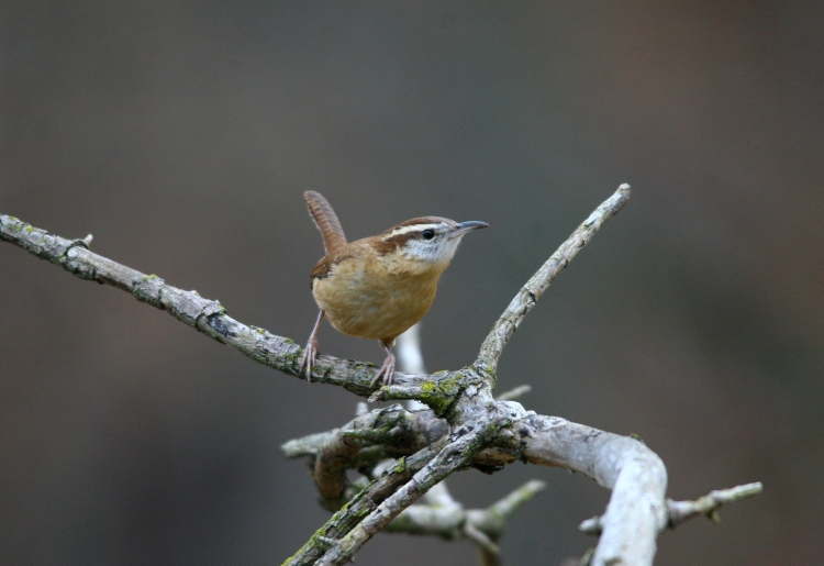 golden crowned sparrow female