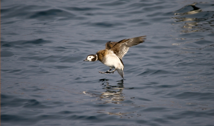 Female Long-Tailed Duck's pre-landing