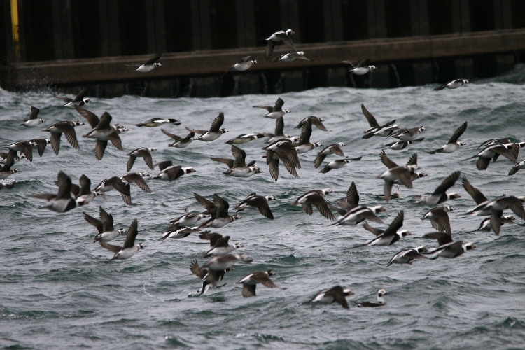 Fleeing Long-tailed Ducks