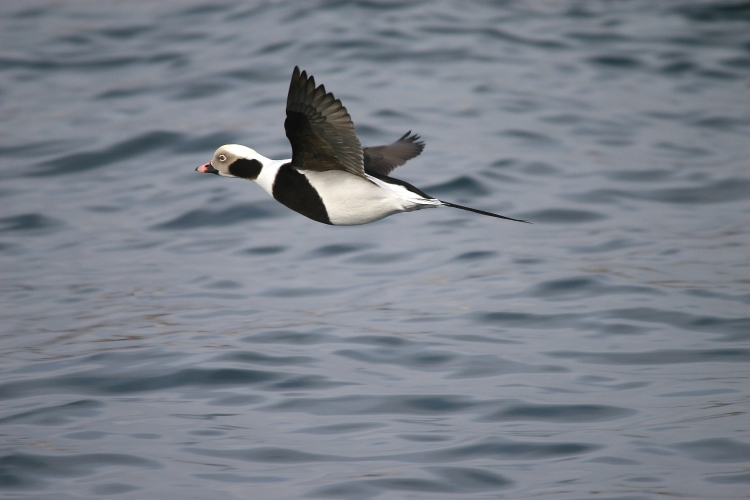 Flying male Long-Tailed Duck