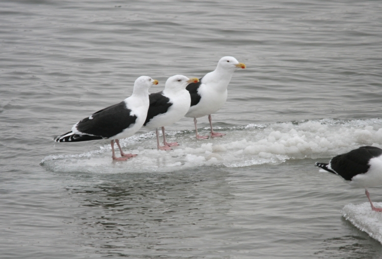Great Black-backed Gulls (Niagara River, March 2015)