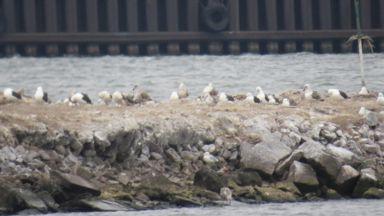 Group of Great Black-backed Gulls