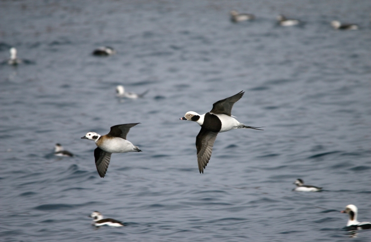 Pair of Long-Tailed Ducks in flight