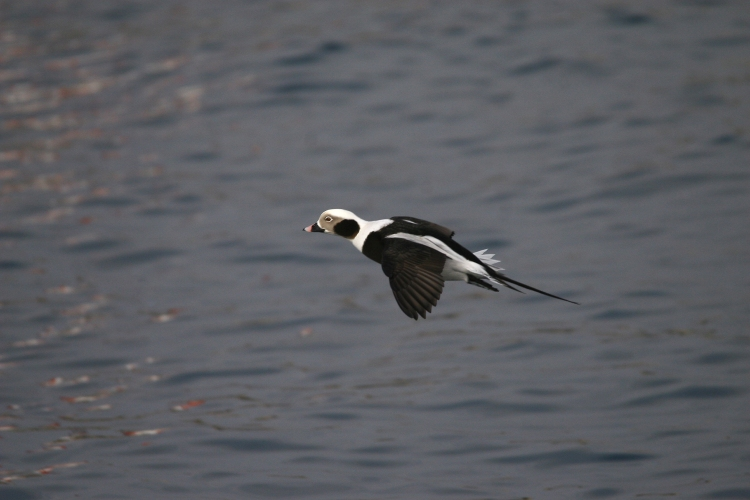 Male Long-Tailed Duck in flight