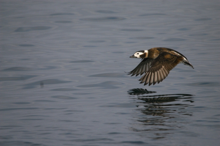 Female Long-Tailed Duck in flight