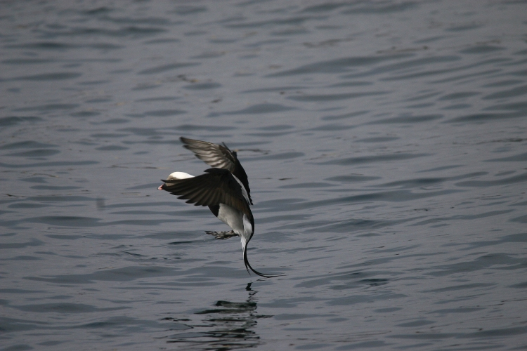 Male Long-Tailed Duck preparing to land