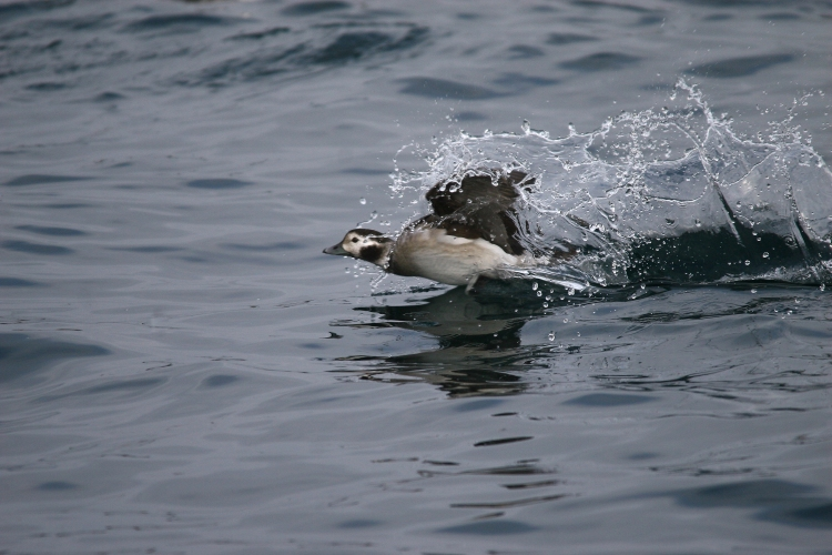 Female Long-Tailed Duck's bouncy landing
