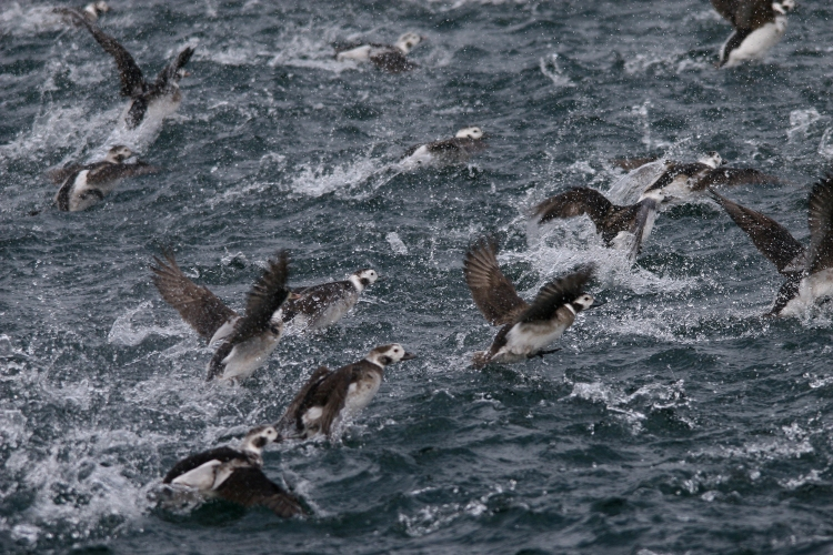 Long-Tailed Ducks fleeing boat