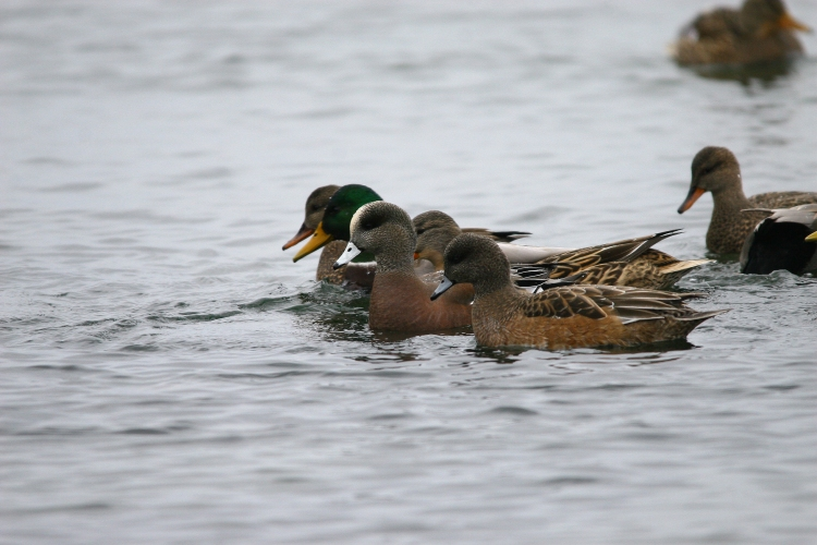 male and female American Wigeons alongside Mallards