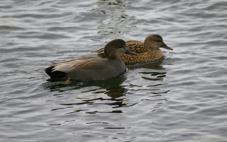 Male and female Gadwall