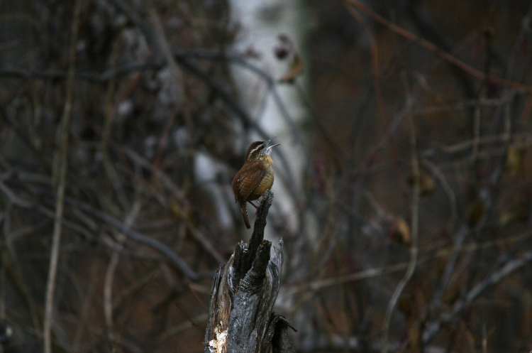 Singing Carolina Wren