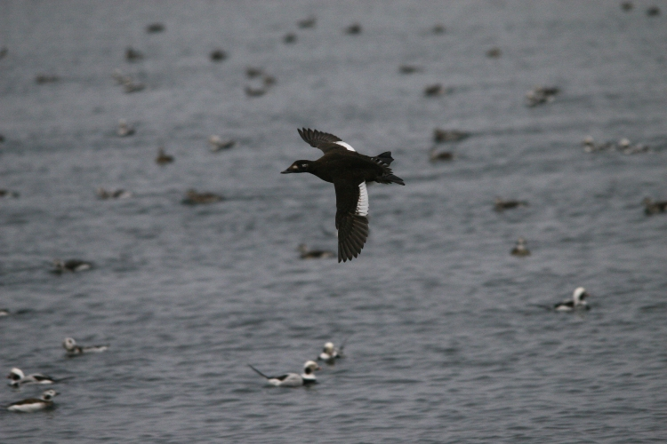 White-Winged Scoter in flight