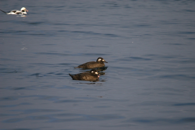 White-Winged Scoters