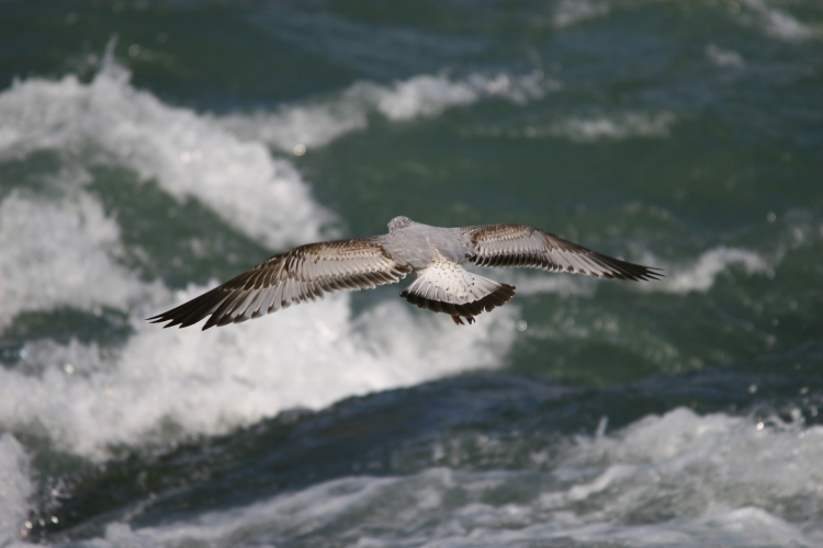 Gull hovering over Niagara River