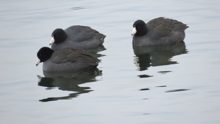 Trio of American Coots