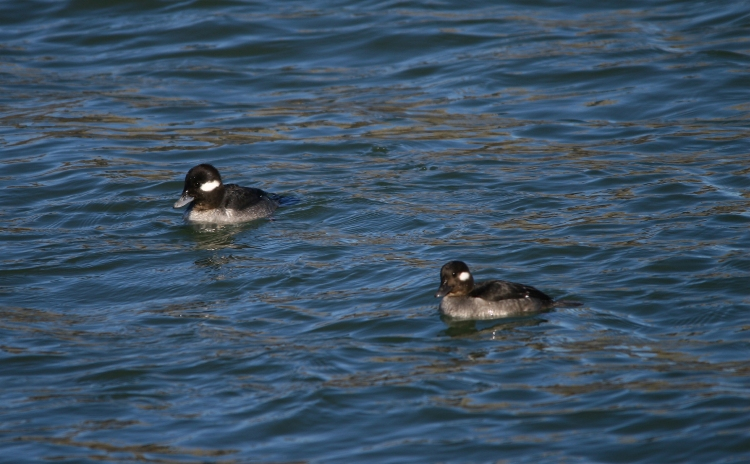 These two female Buffleheads were rather endearing.