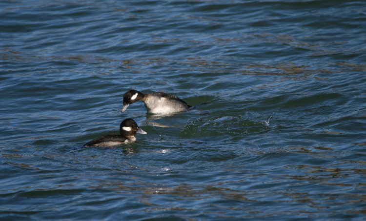Foraging female Buffleheads