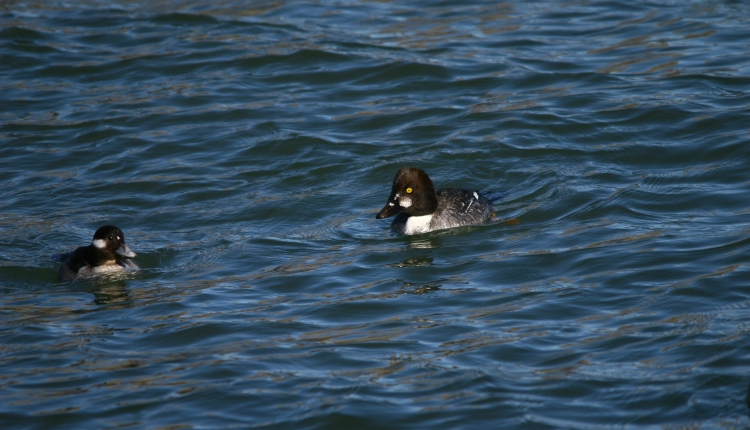 Female Bufflehead and male Common Goldeneye
