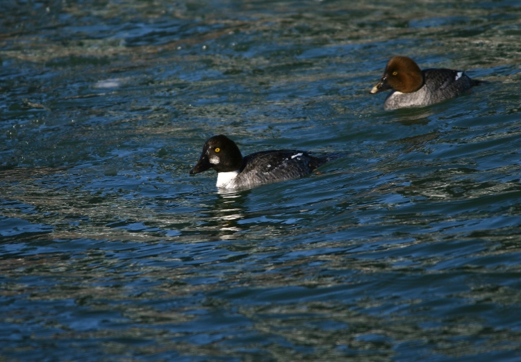 Male and female Common Goldeneyes