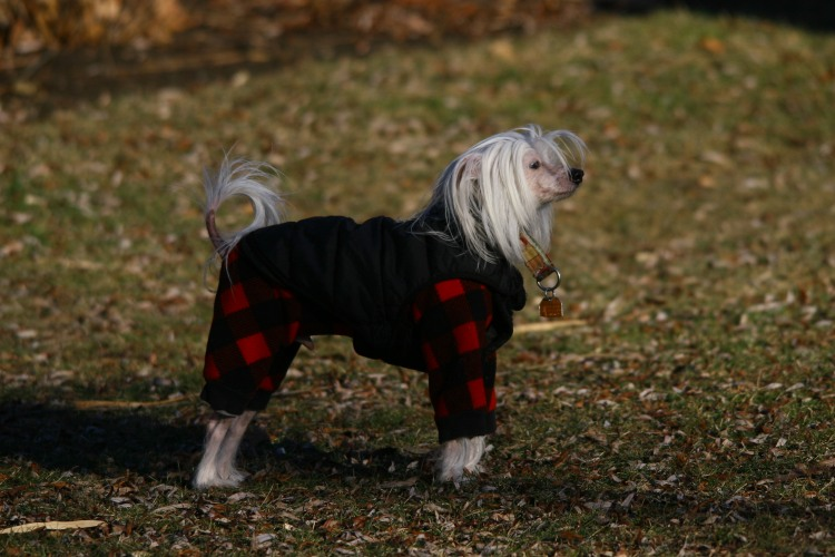Bo - a Chinese crested dog