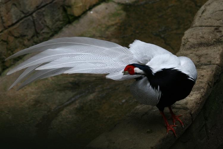 Silver Pheasant grooming