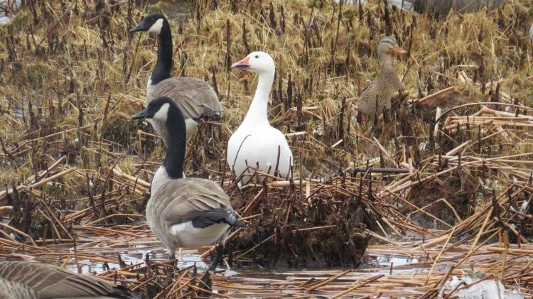 Snow Goose, Canada Geese, Mallard