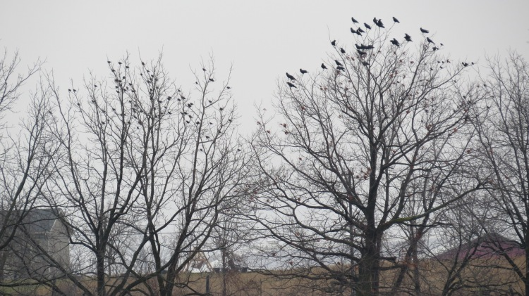 Starlings (left) and American Crows (right)