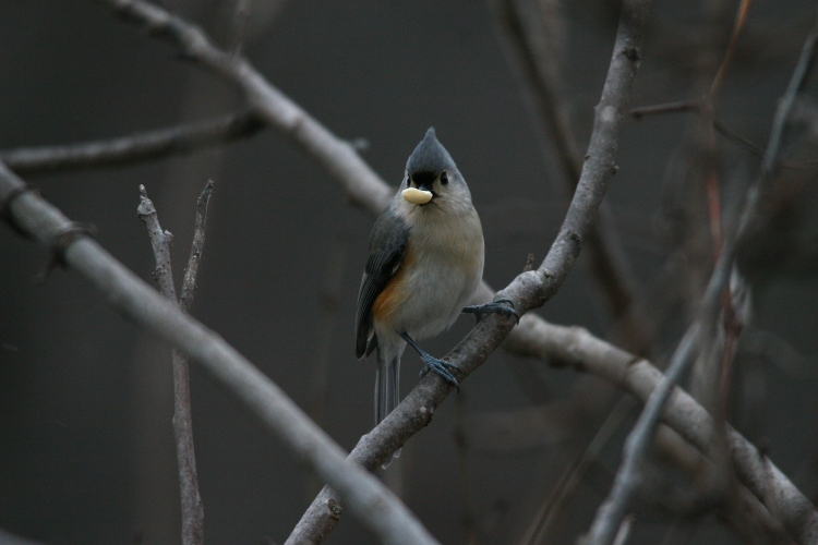 Tufted Titmouse with peanut
