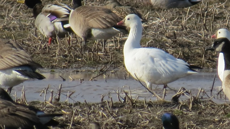 Another look at a Ross's Goose