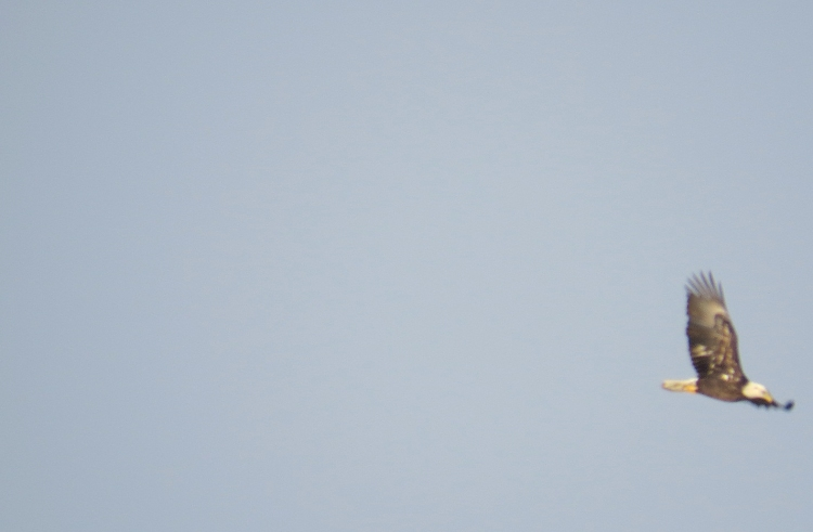 Bald Eagle (record shot taken with bridge camera)