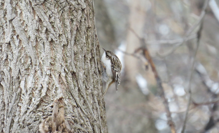 Brown Creeper (foraging)