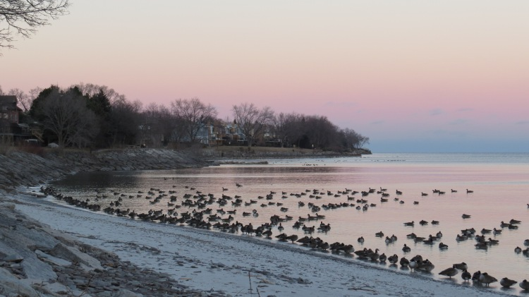 Canada Geese arranging themselves along the shoreline for the night.