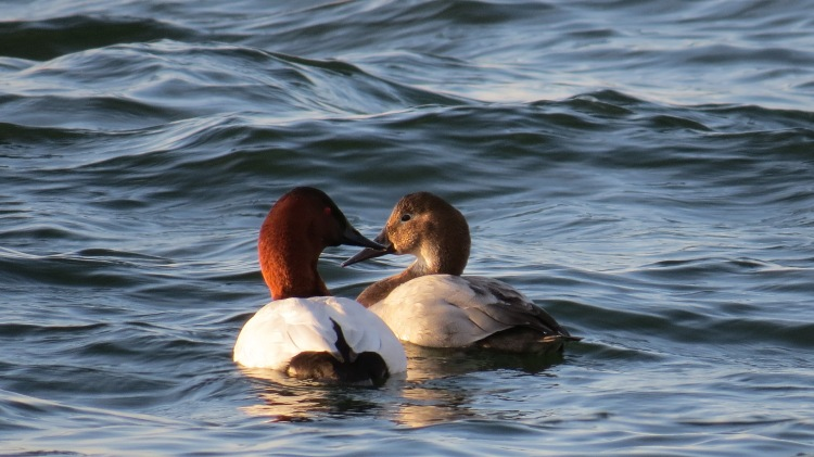 Canvasbacks (male on the left, female on the right)