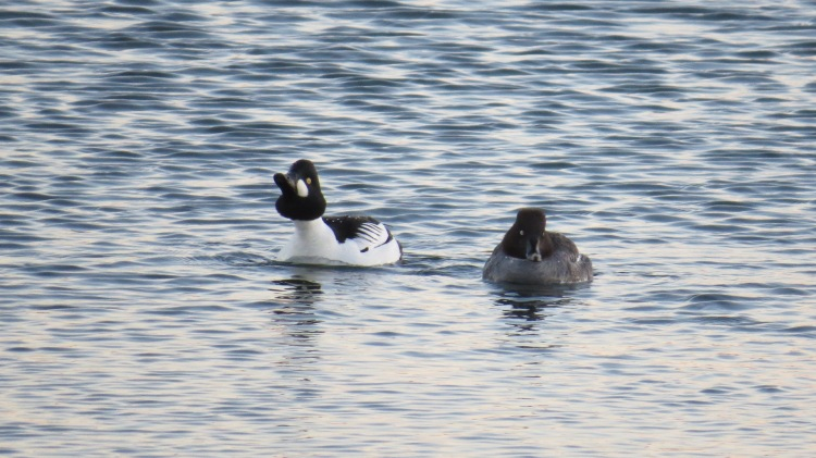 Male Common Goldeneye leading partner to the marina for the night.