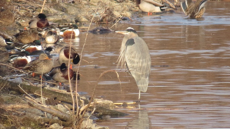 Great Blue Heron (Northern Shovellers, American Coot and Mallards on the shore)