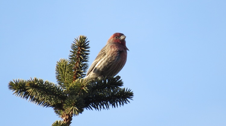 House Finch atop pine tree