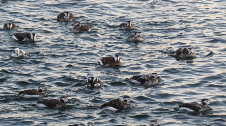 Long-tailed Ducks heading to the marina for the night.
