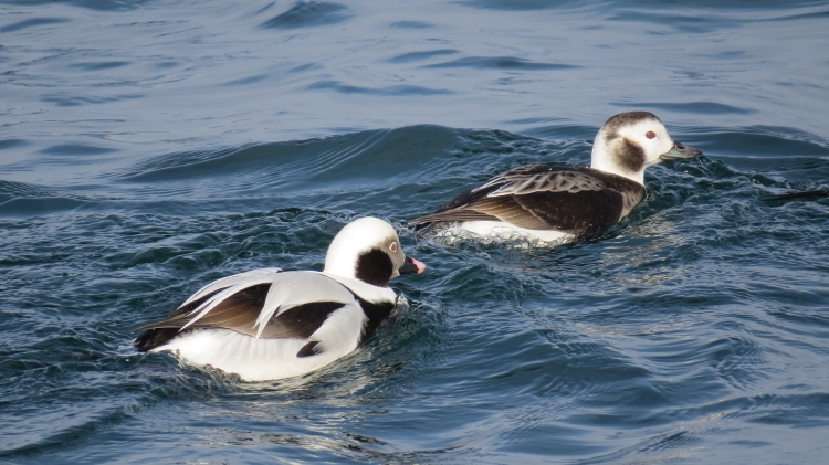 Male and female Long-tailed Ducks