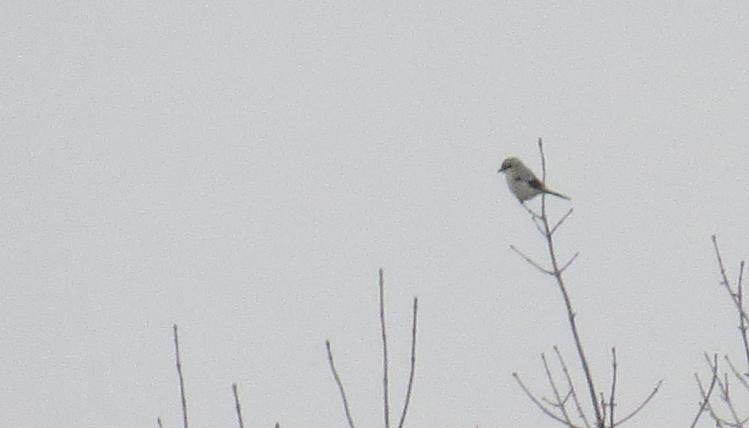 Northern Shrike (Stoney Creek, Ontario)