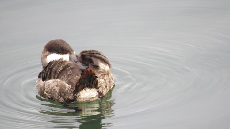 Ruddy Duck (12)