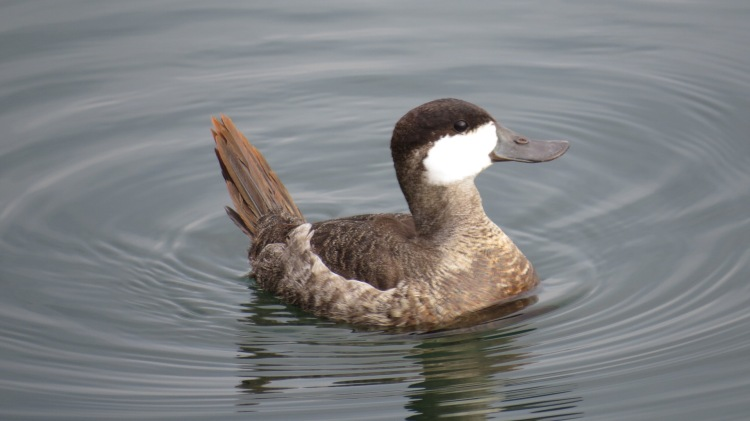 Ruddy Duck (13)