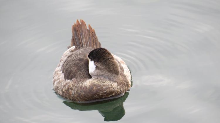 Ruddy Duck (2)