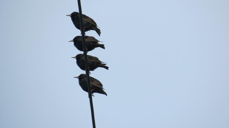 Starling kabob