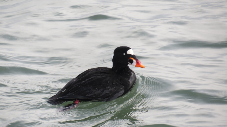 Surf Scoter (male)