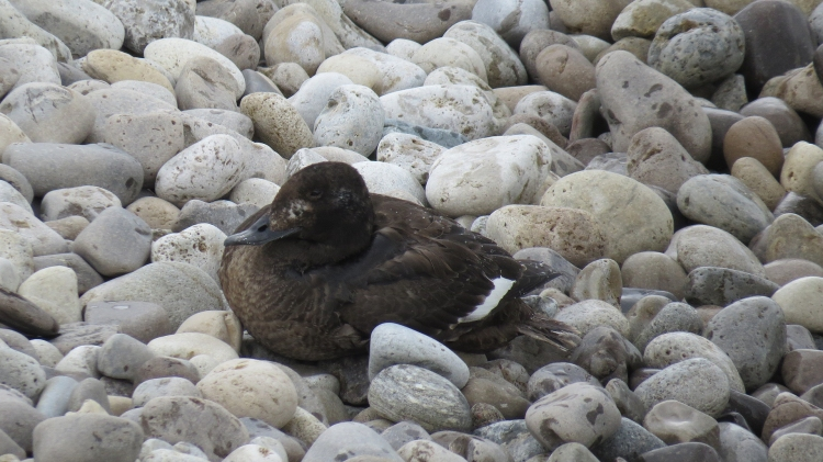 White-winged Scoter resting