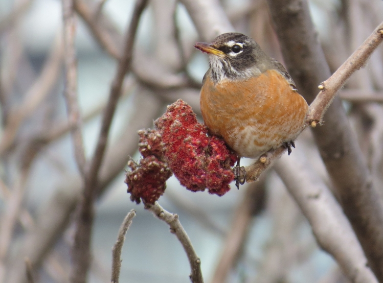 American Robin on sumac