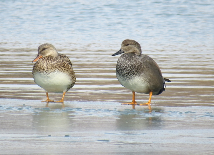 Elegant pair of Gadwalls