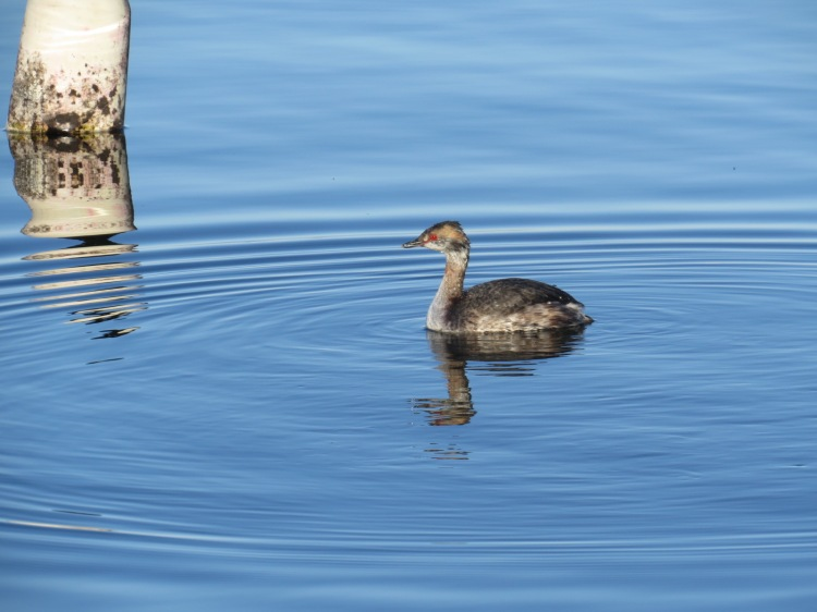 Horned Grebe at LaSalle Marina