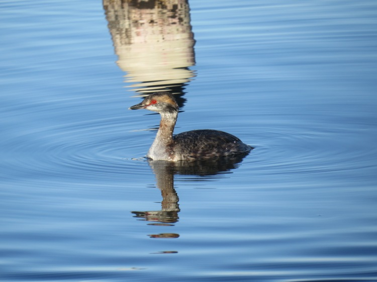 Horned Grebe swimming in marina