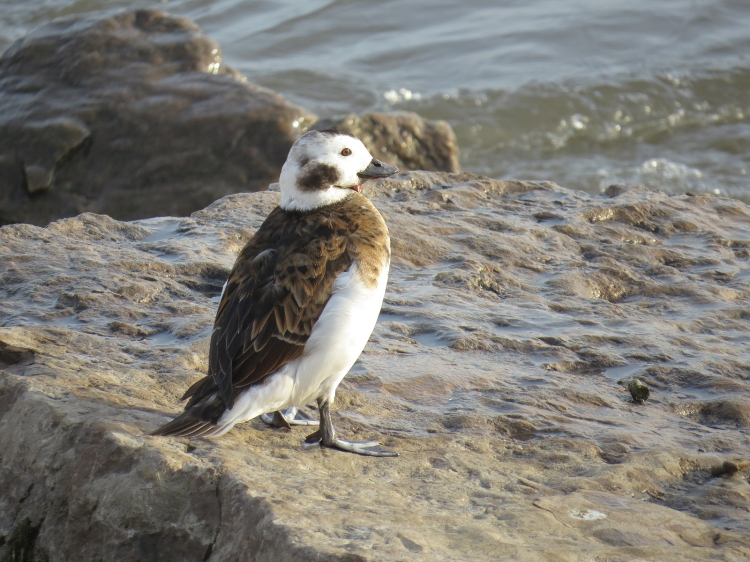 Long-tailed Duck on the rocks